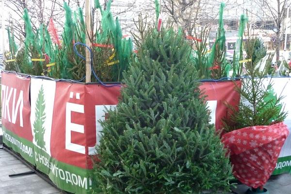 Продажа новогодних деревьев в Липецке начнется 20 декабря